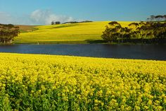 Canola fields Overberg, South Africa