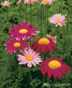 Dalmatian Pyrethrum Carneum Flower Seeds Aromatic Seeds