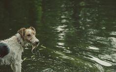 Frisco the Wire fox terrier