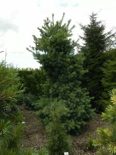 Pinus x schwerineri weithorst