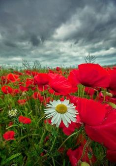 flowersgardenlove:  Poppies And Daisies Beautiful gorgeous pretty flowers