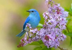 """""""Mountain Bluebird (Sialia currucoides) adult male, perched on flowering lilac, U. Birds Wallpaper Hd, Desktop Background Images, Flowers Free Download, Blue Parakeet, Lilies Of The Field, Full Hd Pictures, Amazing Pictures, Image Nature, Nature Sounds"""