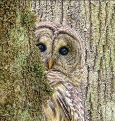 A shy Barred Owl bird peeks around a tree by photographer Jennie Marie Schell. Beautiful Owl, Animals Beautiful, Pretty Birds, Love Birds, Pretty Baby, Animals And Pets, Cute Animals, Wild Animals, Photo Animaliere