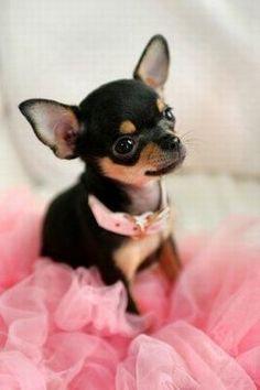 Pretty in pink Chihuahua #Chihuahua