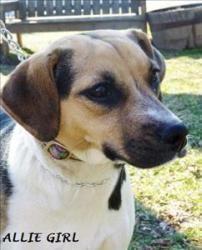 Adoptable Beagle Allie Girl Is An Adoptable Beagle Dog In