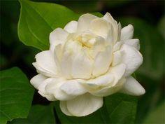 Jasmin flower of Thai mother's day