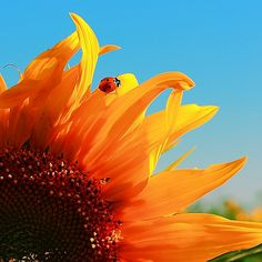 The Lady Bug and The Sunflower by amintirivizuale, via Flickr