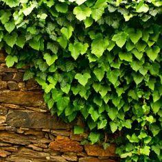 Bluszcz irlandzki, angielski - Hedera hibernica - sadzonka