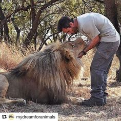 "#Repost @mydreamforanimals ・・・ Kevin Richardson aka ""The Lion Whisperer"" with…"
