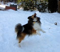 Sheltie Nation | Archive | Snow Shelties