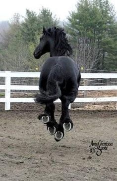 Friesian horse - Look at those shoes !!