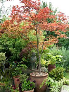 : Japanese Maple