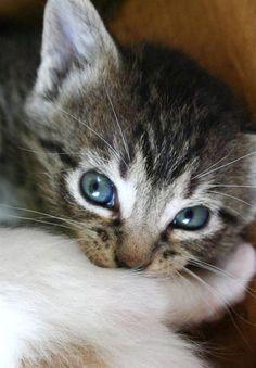Little Texas Tabby (and her Calico Sister) [redux]  kitten