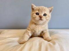 Brave, Cattery, British Shorthair, Cats, Animals, Gatos, Animales, Animaux, Animal