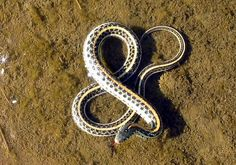 """komplexify :: """"little known fact: the common midwestern garter snake, in addition to hunting amphibians, worms, and small mammals, also spends much of its time studying calligraphy and letterforms"""""""