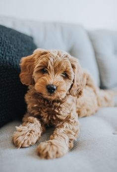 mini goldendoodle - i like it - Chien Puppy Care, Pet Puppy, Dog Cat, Cute Dogs And Puppies, I Love Dogs, Doggies, Mini Puppies, Puppies Tips, Cute Creatures