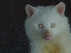 Raccoon Albino Magnolia Blossom - WHAT! I thought albinism was limited to animals! Albino Raccoon just 'hangin out'. 🙂 Please SHARE our Wildlife and Nature pag. Amazing Animals, Unusual Animals, Animals Beautiful, Rare Albino Animals, Melanism, Mundo Animal, Fauna, Beautiful Creatures, Animal Photography
