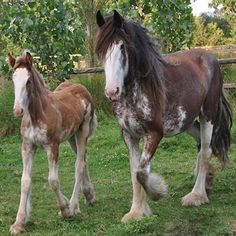clydesdale horses - Google Search