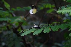 mating dance #butterfly