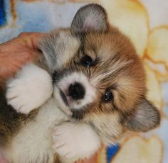 Ohhhh, I'm melting. What a sweet, little corgi puppy. He's poofy!