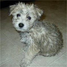 Reece, the Chonzer puppy (Bichon Frise / Schnauzer hybrid) reminds me of my Tanner when he was a pup.