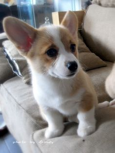 I've had four Corgis, but none of them were puppies when I got them.  That's why I especially love puppy photos.