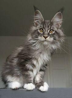 ♔ Maine Coon cat