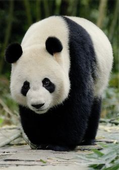 Big ole Panda bear - they always look slightly clownish and totally adorable