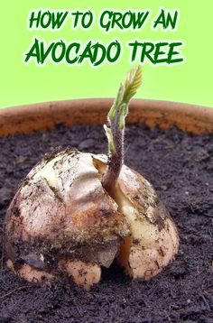 Alternative Gardning: How To Grow An Avocado Tree