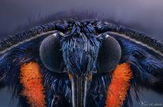 Wasp Moth by AlHabshi.deviantart.com on @DeviantArt