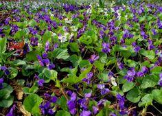 Viola odorata - sweety