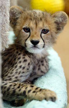 Cheetah baby :)