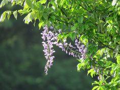フジ. Japanese wisteria. 7 May 2017.