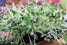 How to grow sunflower sprouts indoors. They're delicious!