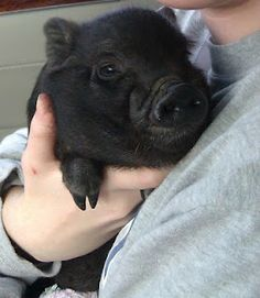 potbelly pig wilfred