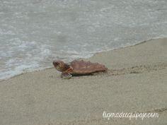 Todas las especies de #tortugas marinas se encuentran en una categoría de amenaza, según la lista roja de la Unión Internacional para la Conservación de la Naturaleza. Liberación de #tortugas marinas en las playas de #SantaMarta #freedom #ocean #underwater #dive #travel #nature #Colombia # #PlanetEarth