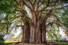 Также внимания заслуживает и самое толстое в мире дерево — Дерево Туле.   Обхват его ствола составляет 11,62 метра, окружность ствола — 36,2 метра, в высоту Дерево Туле достигает 35,4 метра, хотя раньше оно было немного выше. По разным версиям ему от полутора до шести тысяч лет.
