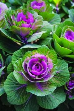 One of the most-striking and long-lasting cut flowers isn't even a flower. The foliage of 'Crane Red' ornamental kale forms a tight cluster, rose veined with a rosy-purple center, at the end of a long, sturdy stem, looking like an oversize rose blossom. Diy Garden, Dream Garden, Garden Plants, Garden Art, Purple Flowers, Beautiful Flowers, Colorful Roses, Beautiful Gorgeous, Ornamental Cabbage
