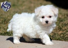 bichon frise puppies | Honey – Bichon Frise Puppies for Sale in PA | Keystone Puppies