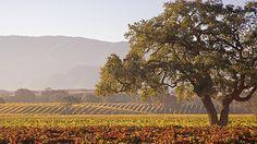 vineyards and oak trees in the autumn, Santa Ynez Valley near Santa Barbara, California