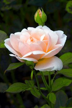 Shrub Rose 'Tamora' by Dency Kane
