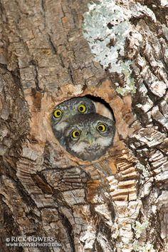 Northern Pygmy Owl (Glaucidium californicum) by Rick & Nora Bowers