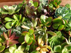 Assorted Wreath Cuttings -- Wreath cuttings are comprised of a mix of succulents we use to plant the wreaths, predominantly Aeoniums, Crassula, Sedums and Echeverias. Succulent Cuttings, Succulent Gifts, Buy Succulents, Succulents In Containers, Diy Kits, Container Gardening, Planting Flowers, Planters, Packaging