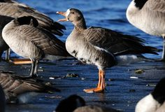 Ice-free waters attract far-roaming geese to Boulder County