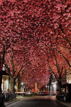 Cherry blossom in the old town of Bonn / Germany.