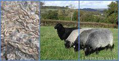Gotlander schaap, blauw grijs,zacht en lange krullen.
