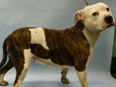Brooklyn Center LASS – A1057700 FEMALE, WHITE / BR MERLE, PIT BULL MIX, 2 yrs STRAY – STRAY WAIT, NO HOLD Reason STRAY Intake condition UNSPECIFIE Intake Date 11/12/2015, From NY 11236, DueOut Date11/15/2015, I came in with Group/Litter #K15-039282 Urgent Pets on Death Row, Inc