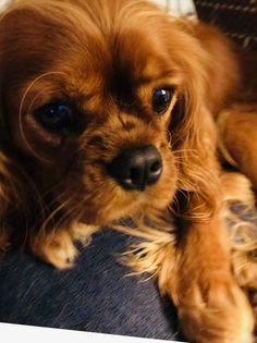 Puppies Puppies, Cute Puppies, Cute Dogs, King Charles Spaniel, Cavalier King Charles, Animals And Pets, Cute Animals, Cavapoo, Pomeranians