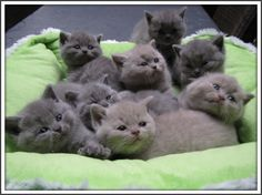 britse korthaar kittens - Google zoeken
