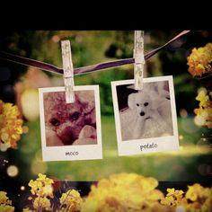Dear Photo meets cameran #toypoodle #poodle #dogstagram #dog #photofunia #cameran  @shi0ri- #cameranapp